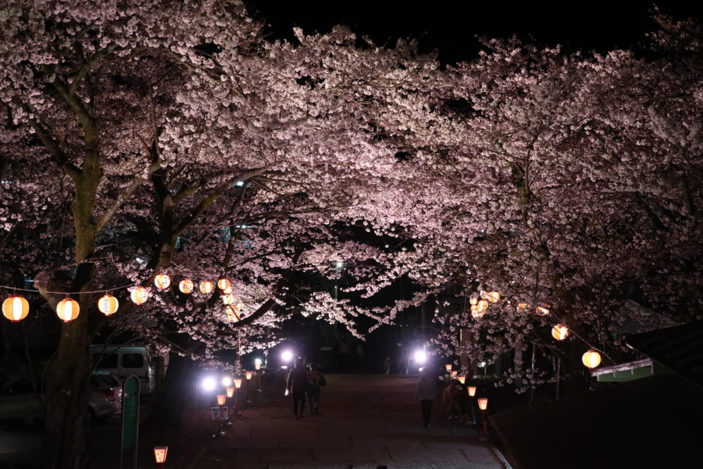 sakura illuminations